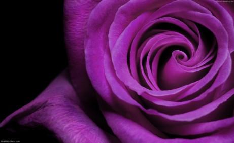 43-rose