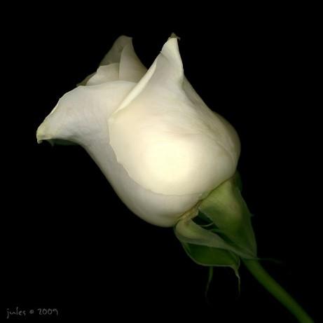 White Rose (1)